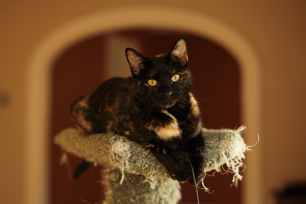 Our tortoiseshell cat Trixie sits at the top of the cat tree, framed by the arch behind her
