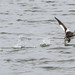 Grebe taking flight