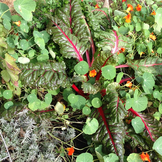 Meanwhile red chard is untouched by deer