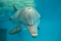Clearwater, FL - Clearwater Marine Aquarium - Atlantic Bottlenose Dolphin - Hope