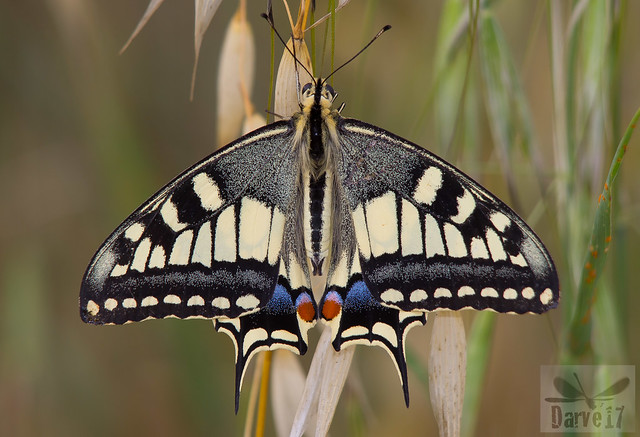 Swallowtail - Papilio machacón (Linnaeus, 1758)