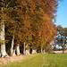 Row of Beech trees beside the River Earn.