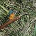 Kingfisher (male) on reedmace