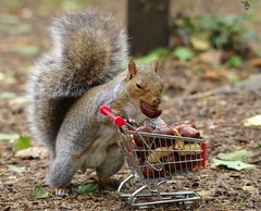 Holdergrey squirrel  with shopping trolley cart  in park autumn. (6)