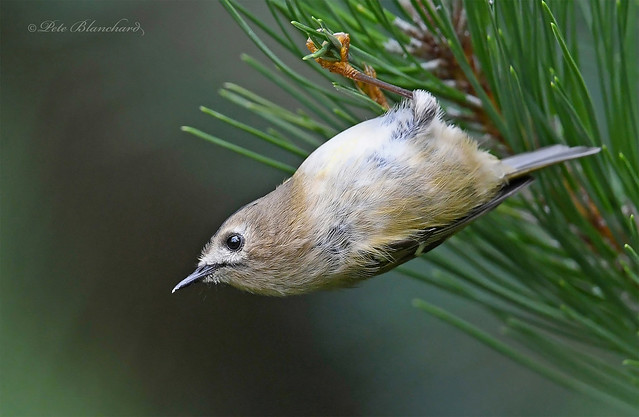 Goldcrest (explored)