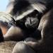 Pilated Gibbon