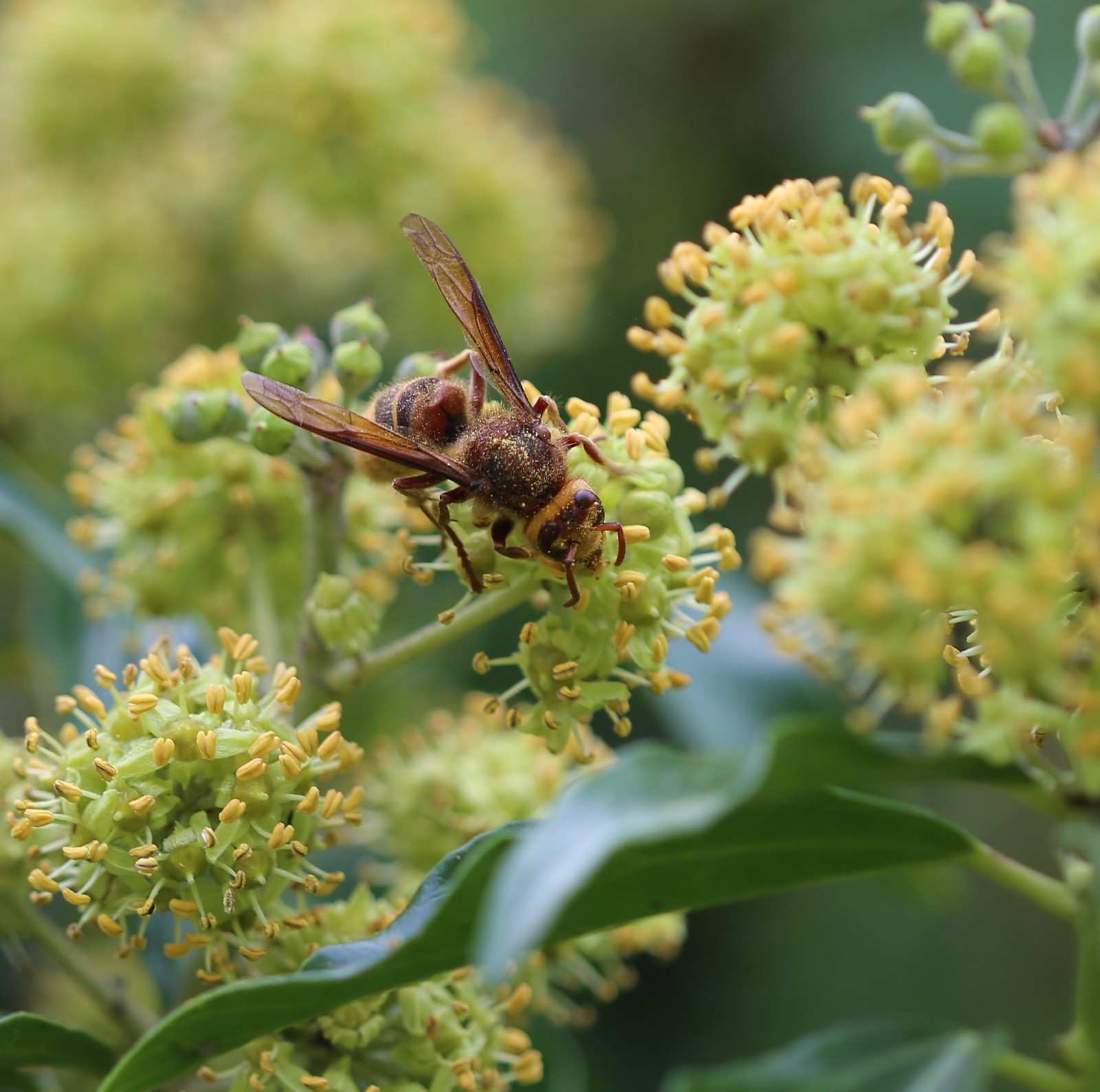 Hornet covered in Ivy pollen in Scaynes Hill