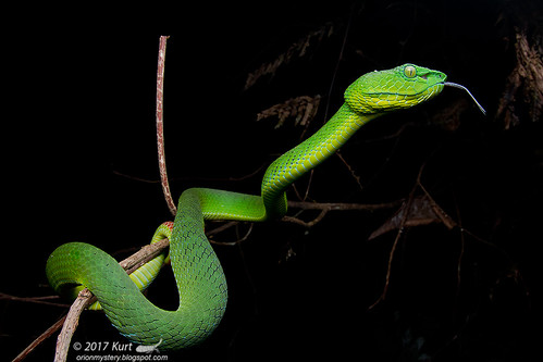 Trimeresurus nebularis_MG_8893 copy