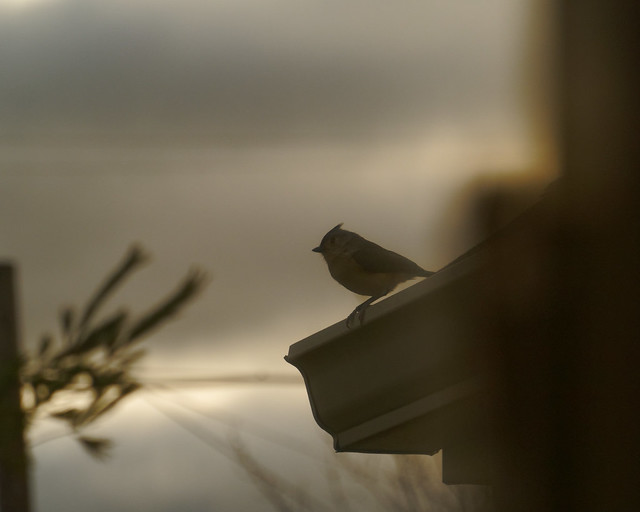 A Titmouse on the Porch Roof