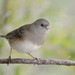 Dark-eyed Junco-40619.jpg