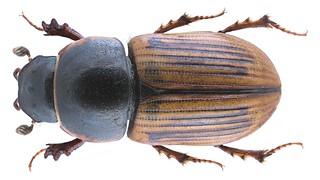 Chilothorax lineolatus (Illiger, 1803) Syn.: Aphodius (Chilothorax) lineolatus (Illiger, 1803)