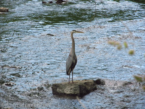 Great Blue Heron in the Keuka Outlet near Penn Yan, New York