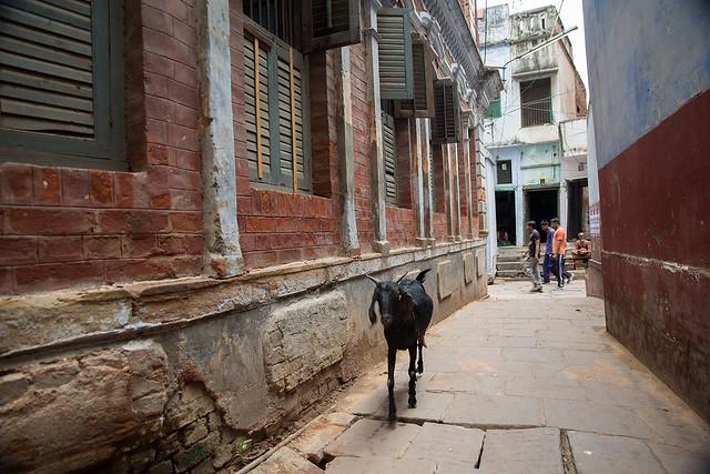 Goat in the streets of Varanasi, India.