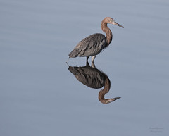 _J3A3871 7D Mark ll Tamron 150-600mm G2 Reddish Egret