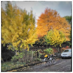 "Leaf peeping in the city. Ginkgos are really ""on"" now. #leafpeeping #leafpeepinginthecity"