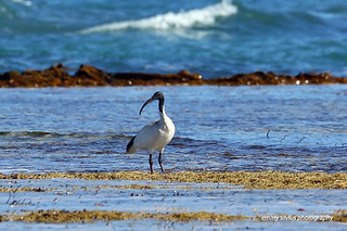 Australian White Ibis (4928)