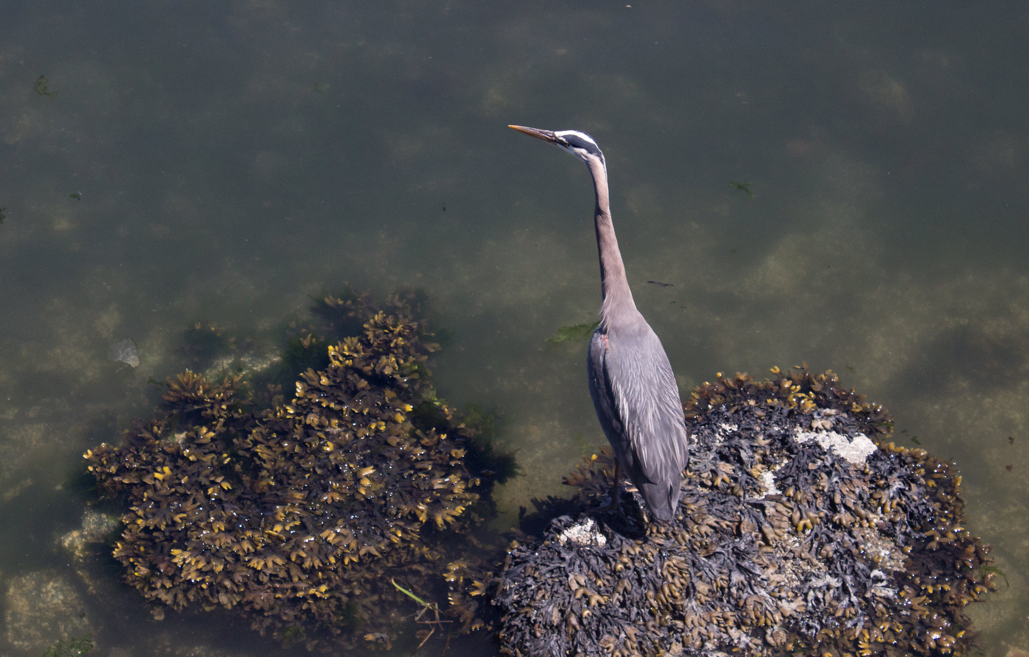 Heron in Victoria, BC