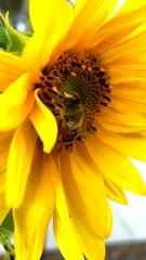 Bee & Sunflower XXIV