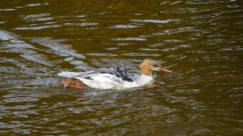 Young goosander swimming in Severn at Bridgnorth