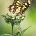 Butterfly #54.