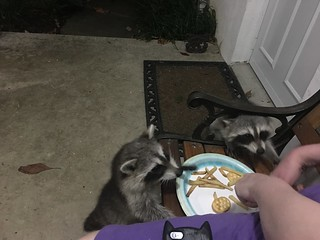 Two baby raccoons eating marshmallows from my hand