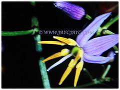 Gorgeous bisexual star-shaped reflexed flower of Dianella ensifolia (Umbrella Dracaena, Flax Lily, Common Dianella, Sword-leaf Dracaena, Cerulean Flax-lily, Siak-Siak in Malay), 3 Oct 2017