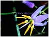 Dianella ensifolia (Umbrella Dracaena, Flax Lily, Common Dianella, Sword-leaf Dracaena, Cerulean Flax-lily, Siak-Siak in Malay)