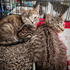 Blink made her adoption event debut yesterday! No takers yet but she is getting more comfortable and confident. Her brother Neil DGT provided moral support. And science! #oneeyedkitten #adoptthiskitten #kittensofbushwick #adoptionevent