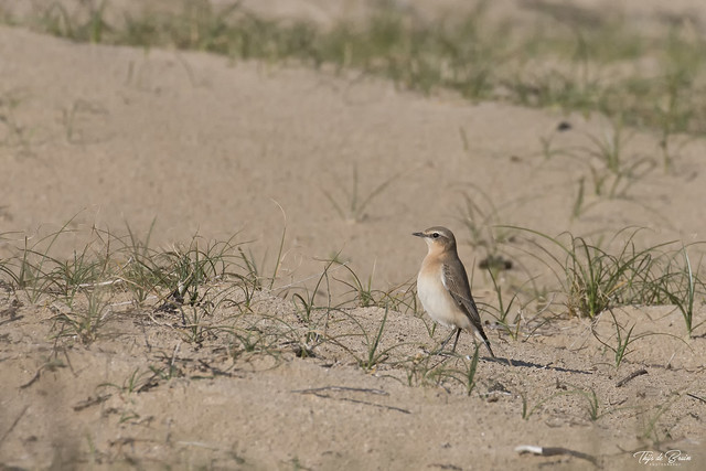 Tapuit - Northern Wheatear  ♀