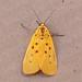 Small photo of Agape chloropyga (Yellow tiger moth)
