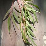 Corybmia citriodora leaves