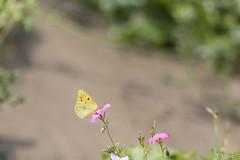 20170714_creteil_macro_papillon-3
