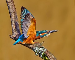 Male Eurasian Kingfisher ( Alcedo atthis )-Come on then !!