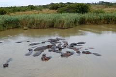 Hippos, St Lucia Estuary