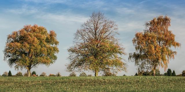 Autumn Trees @ Barton-le-Clay