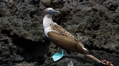 Blue-Footed Booby 3