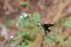 Long tailed skipper on wildflower