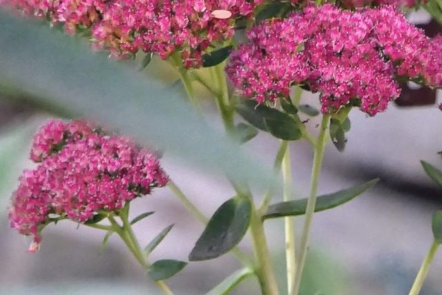 Autumn pink sedum