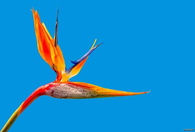 Bird of paradise flower (paradijsvogel bloem)
