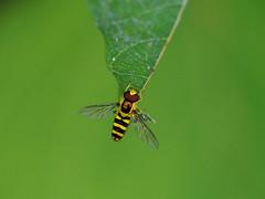 Marmalade hoverfly (ホソヒラタアブ)