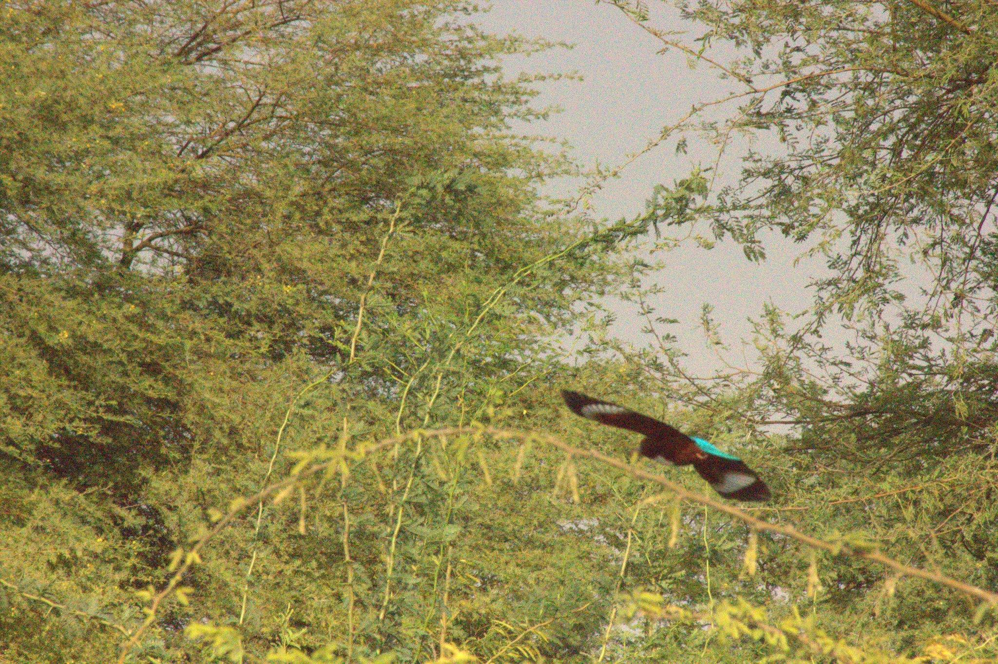 Kingfisher flies over Salawas village