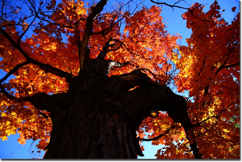 2017 Maple in Fall, Boulder, Colorado  (34)