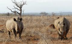 Walking with White Rhino, Mkhaya (17)