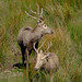 Deer, Margam Park