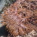 Small photo of Crown of thorns (Acanthaster planci)
