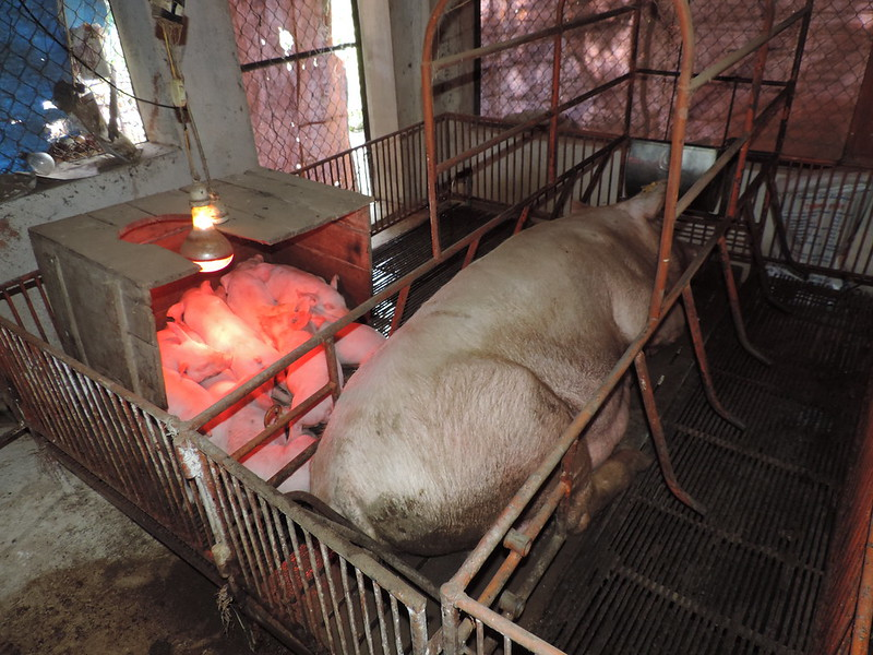 Pigs are kept in limited space on farm, Vietnam 2013