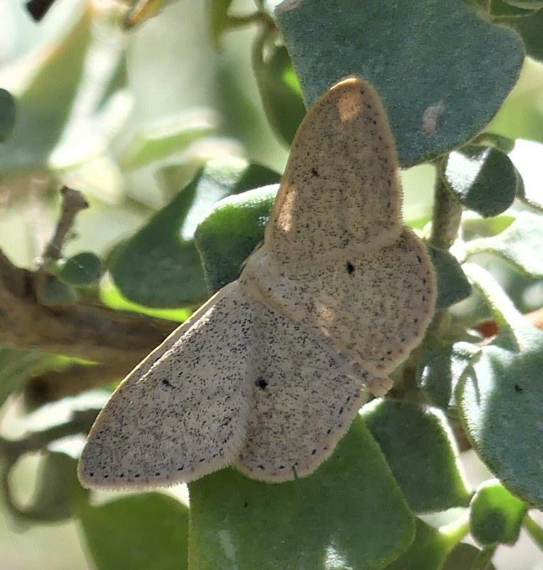 Unidentified Moth Jan Heywood
