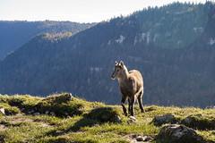 Alpine Ibex kid