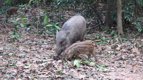 Wild boar with piglet (Sus scrofa)