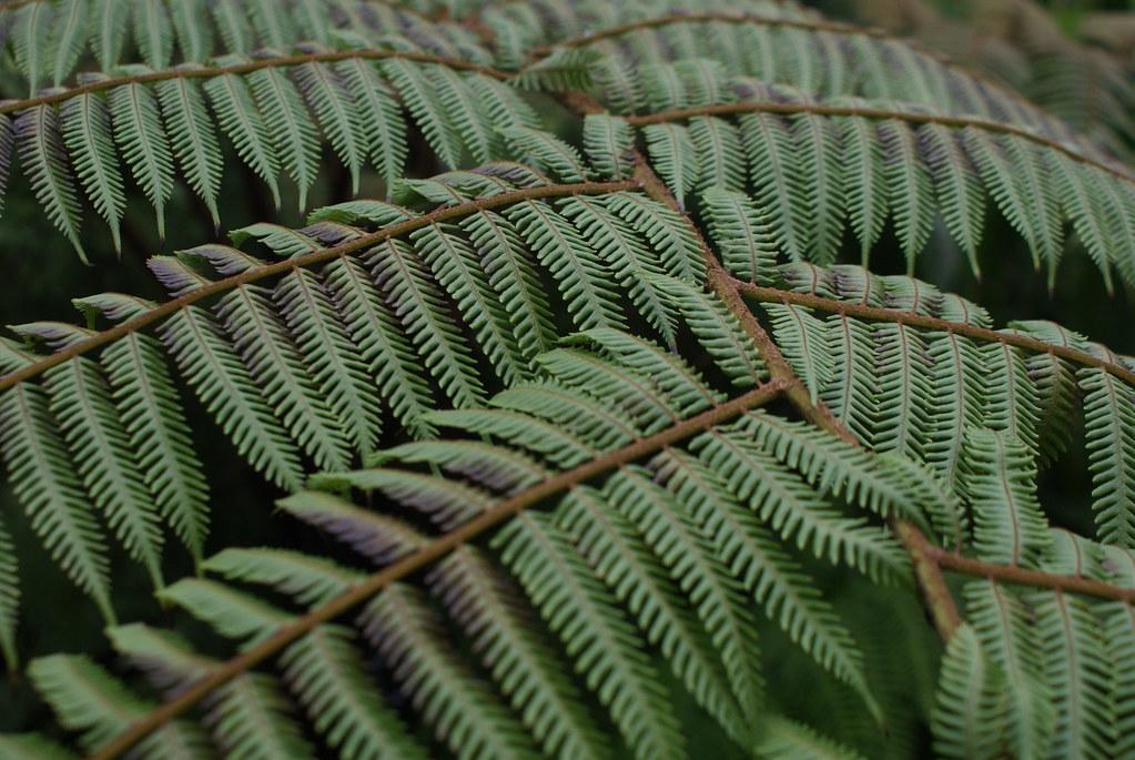 Fougères mon amour au jardin botanique de Glasgow.